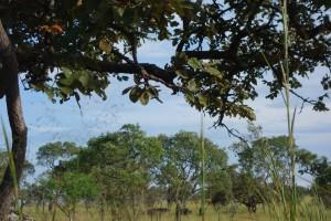 Buffles dans le Parc de la Ruvubu
