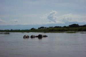 Hippopotames à la Ruzizi